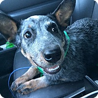 Adopt A Pet :: Bindi - Newtown, CT