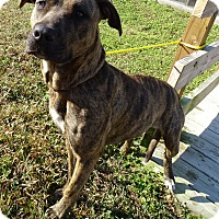 Pit Bull Terrier Mix Dog for adoption in Brooksville, Florida - JERSEY