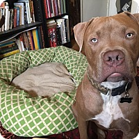 Pit Bull Terrier/Mastiff Mix Dog for adoption in La Habra, California - Johnny Depp
