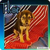 Adopt A Pet :: Thor - Scottsdale, AZ