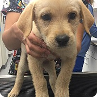 Adopt A Pet :: Ginny-Harry Potter Pup - Cumming, GA