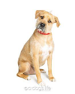 Irish Terrier/Labrador Retriever Mix Dog for adoption in Scottsdale, Arizona - Snoop