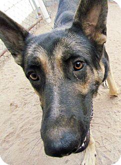 German Shepherd Dog Dog for adoption in San Tan Valley, Arizona - Archie