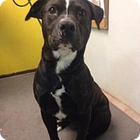 Adopt A Pet :: Gucci - Eureka Springs, AR