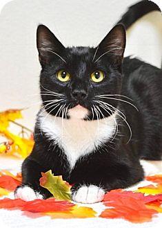 Domestic Shorthair Cat for adoption in Dublin, California - Polo
