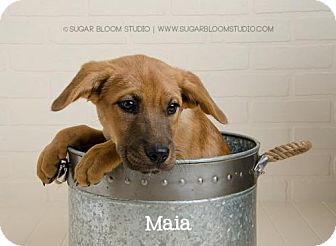 Labrador Retriever/Shepherd (Unknown Type) Mix Puppy for adoption in Denver, Colorado - Maia