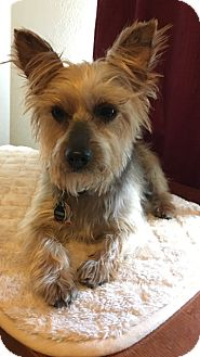 Yorkie, Yorkshire Terrier/Silky Terrier Mix Dog for adoption in Dallas, Texas - Meko