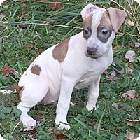 Bull Terrier Mix Puppy for adoption in Cincinnati, Ohio - Trinity