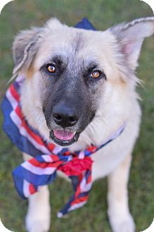 German Shepherd Dog/Great Pyrenees Mix Dog for adoption in Denver, Colorado - India *ADOPTION PENDING*