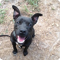 Staffordshire Bull Terrier/American Pit Bull Terrier Mix Dog for adoption in Groveland, Florida - Negra