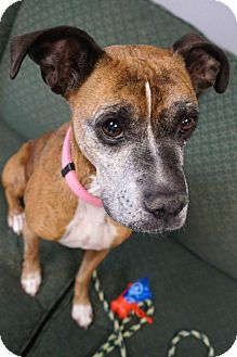Boxer Mix Dog for adoption in Carroll, Iowa - Lilly