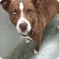 Adopt A Pet :: Zha Zha - Paducah, KY
