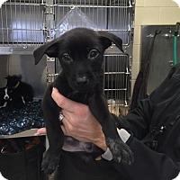 Adopt A Pet :: Charlie - Rockwall, TX