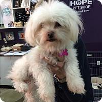 Adopt A Pet :: Tilly - Thousand Oaks, CA