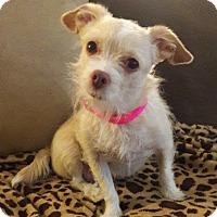 Adopt A Pet :: Foo Foo - Las Vegas, NV