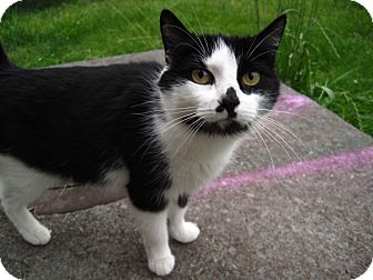 Domestic Shorthair Cat for adoption in Manassas, Virginia - Bow Tie