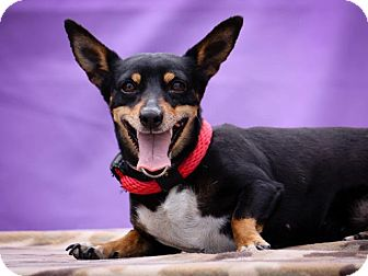 Miniature Pinscher Mix Dog for adoption in Anaheim, California - Mona