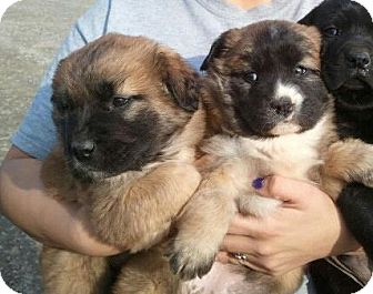 German Shepherd Dog/Chow Chow Mix Puppy for adoption in Williamston ...