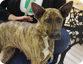 German Shepherd Dog Mix Dog for adoption in Elyria, Ohio - Stoli-Prison Graduate