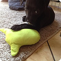 Adopt A Pet :: Dorothy's Pup 7 - Las Vegas, NV