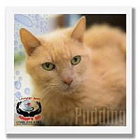 Adopt A Pet :: Pudding - Palm Desert, CA