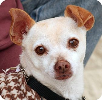 Chihuahua Mix Dog for adoption in Palmdale, California - Gregg