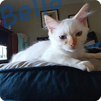 Siamese Cat for adoption in Walnut Creek, California - Bella