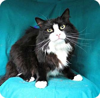 Domestic Shorthair Cat for adoption in Merrifield, Virginia - Erik