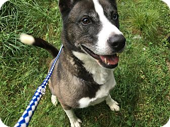 Husky Mix Dog for adoption in Monroe, Connecticut - Bentley