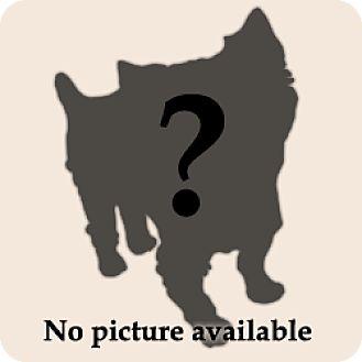 Yorkie, Yorkshire Terrier Mix Dog for adoption in Austin, Texas - Mercedes