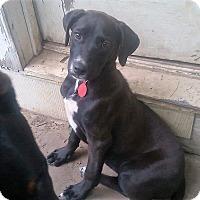 Adopt A Pet :: Livia - Coming Soon! - Ascutney, VT