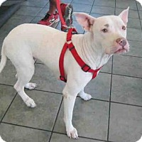 Pit Bull Terrier Dog for adoption in San Antonio, Texas - LUNA