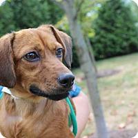 Adopt A Pet :: London - Harrisonburg, VA