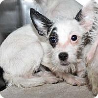 Adopt A Pet :: Peek-A-Boo - Fort Madison, IA