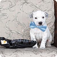 Adopt A Pet :: Fritter - Chandler, AZ