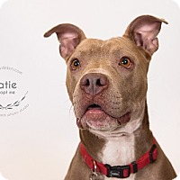 Adopt A Pet :: Katie - Kansas City, MO