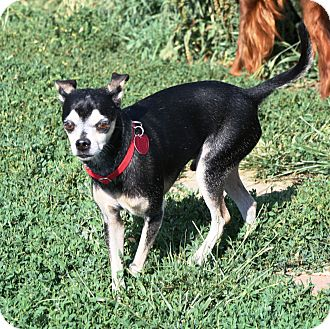 Miniature Pinscher/Chihuahua Mix Dog for adoption in Topeka, Kansas - Dexter KS