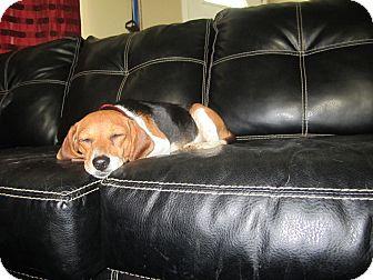 Beagle/Dachshund Mix Dog for adoption in Alexandria, Virginia - Lady