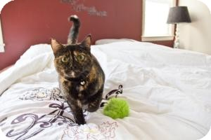 Domestic Shorthair Cat for adoption in Sacramento, California - Mascara
