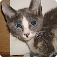 Domestic Shorthair Cat for adoption in Miami, Florida - Coco