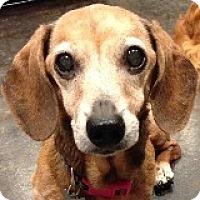 Adopt A Pet :: Lilah L'Sat - Houston, TX