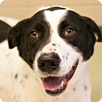 Adopt A Pet :: Sawyer - Pittsburg, KS