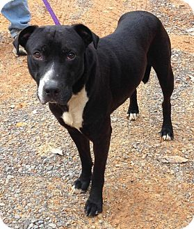 Labrador Retriever Mix Dog for adoption in Manchester, New Hampshire - Snip