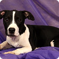 Adopt A Pet :: Apollo Terrier - St. Louis, MO