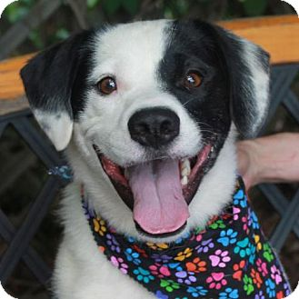 Border Collie/Beagle Mix Dog for adoption in Garfield Heights, Ohio - Spuds