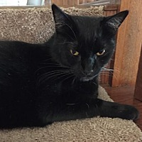 Bombay Cat for adoption in Lakewood, California - Sir Felix