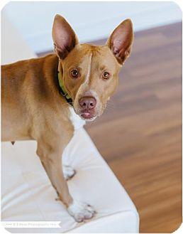 American Pit Bull Terrier/Basenji Mix Dog for adoption in Edina, Minnesota - Charlee D151056