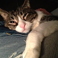 Domestic Shorthair Cat for adoption in Chicago, Illinois - Bill
