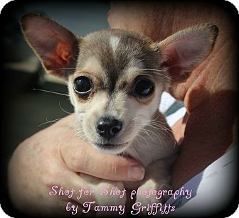 Jack Russell Terrier/Chihuahua Mix Puppy for adoption in Lodi, California - Baxter