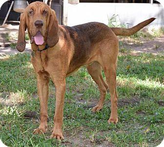Bloodhound Dog for adoption in Orlando, Florida - Duke